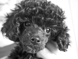 A Wee Black Dog